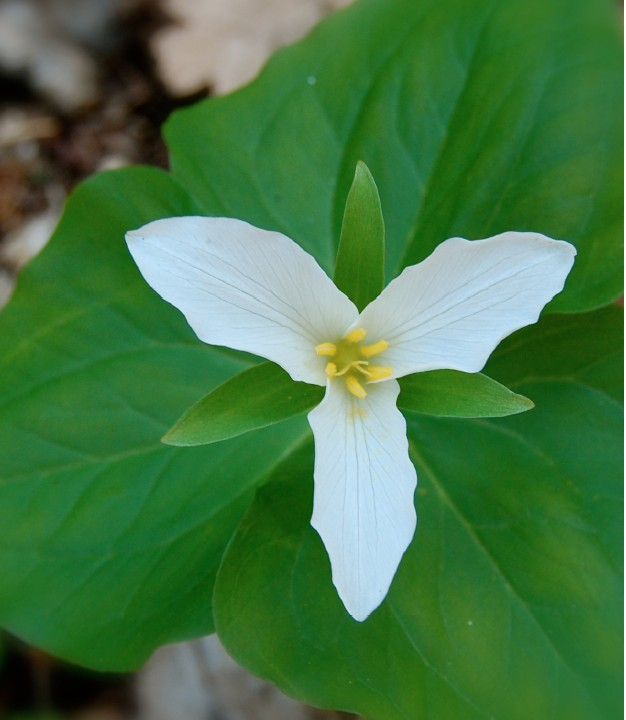 trillium flower essence   flowers healing, Beautiful flower