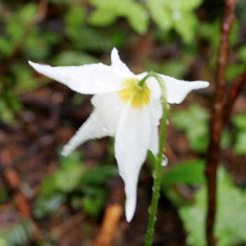 Avalanche Lily