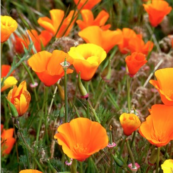 California Poppy 626w