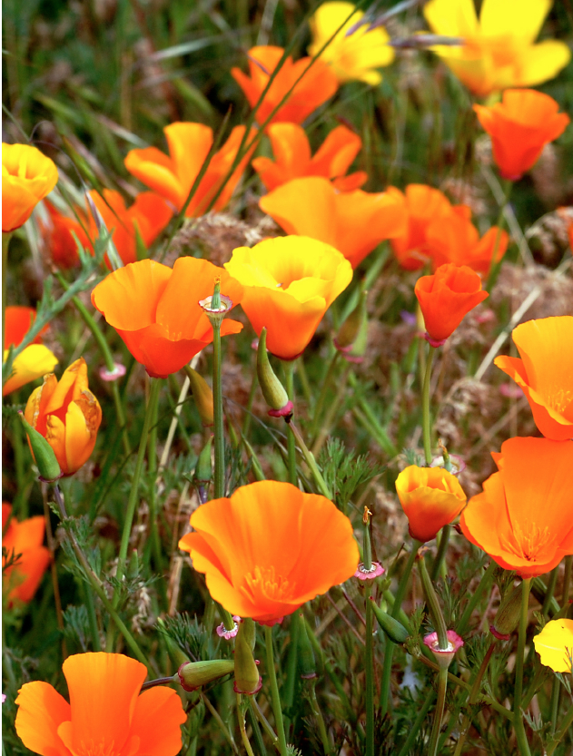 California poppy flower essence 3 flowers healing california poppy flower essence mightylinksfo