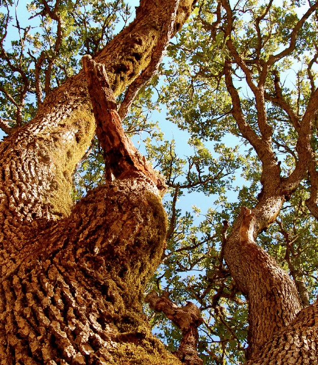 Oregon Oak 626w